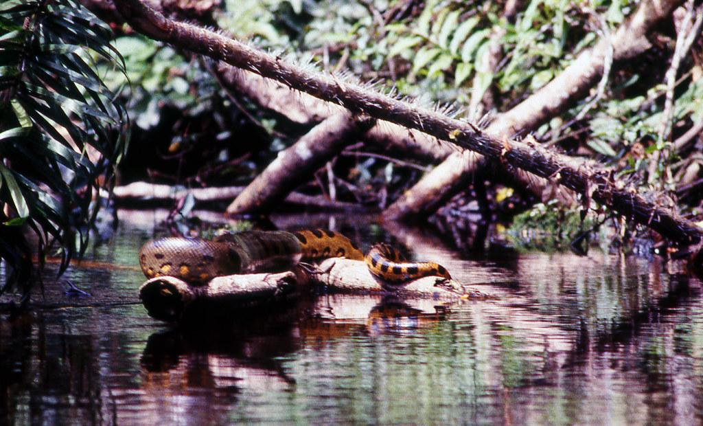 Passing by a resting Anaconda in our canoe - Rio Aguarico, Ecuador