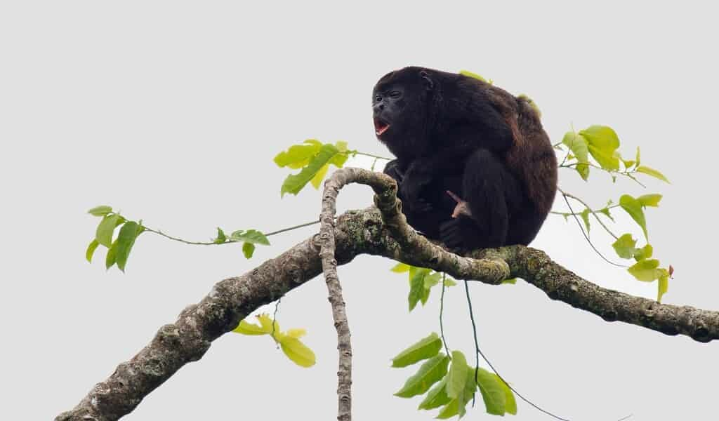 les-singes-hurleurs-naviguent-avec-des-cartes-mentales-comme-humain