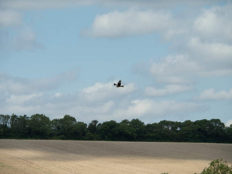 Red Kite in the landscape