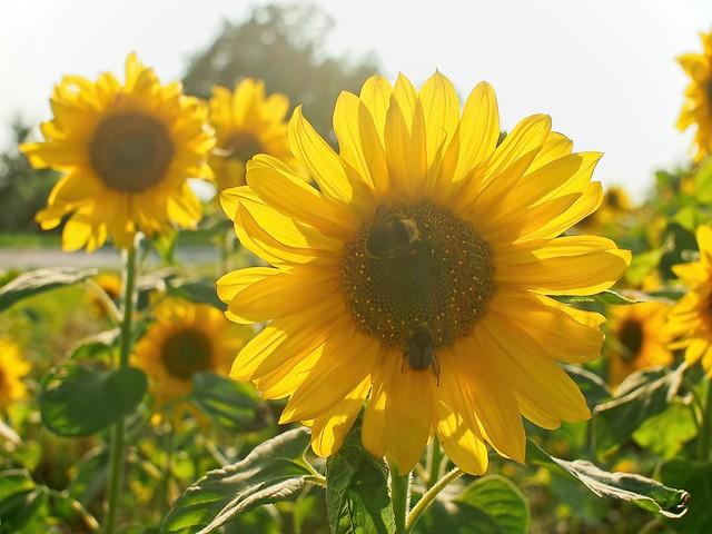Sunflower in the backlight of the evening sun | August 12, 2021 | Tarbek - Segeberg District - Schleswig-Holstein - Germany