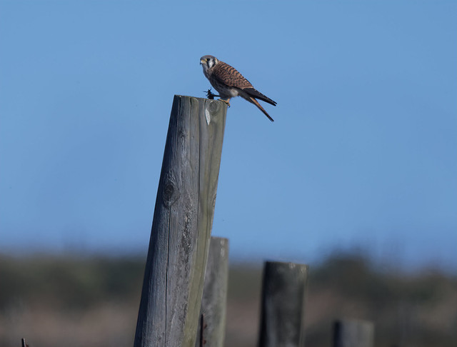 American kestrel with its catch