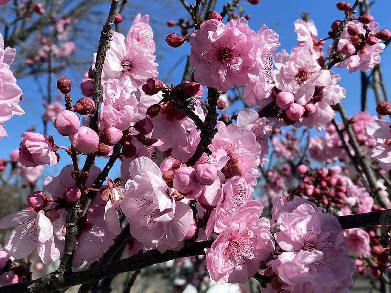 Early spring cherry blossoms