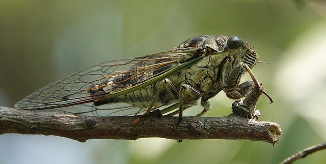 Neotibicen canicularis aka Northern Dog-day Cicada, Tommy Thompson Park, Toronto