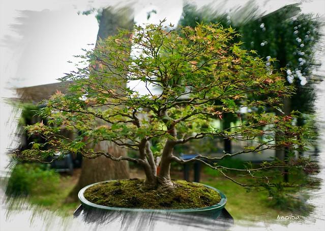 2021 Erable du Japon (Bonsaï). Parc Floral Paris