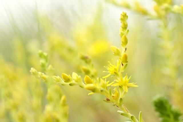 Sedum urvillei ssp. hillebrandtii 3349