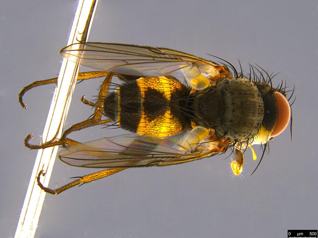 5b - Siphonini sp.