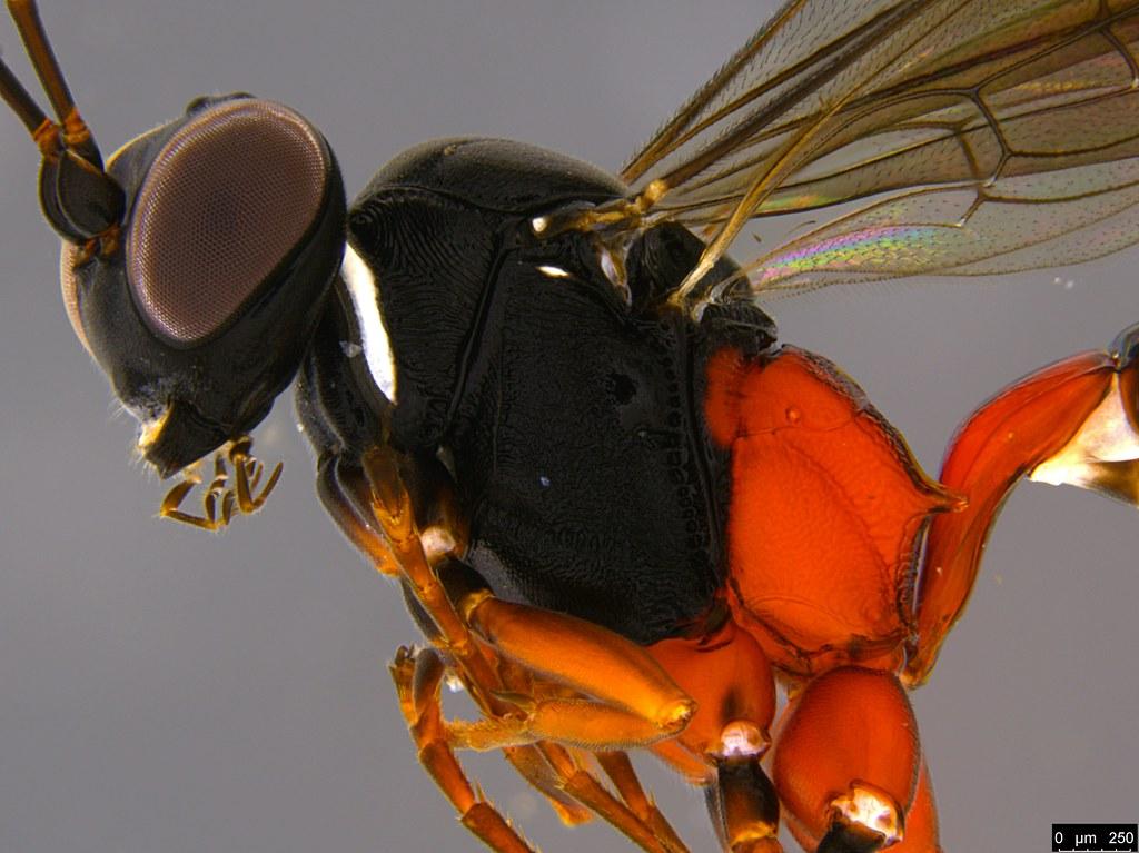 18b - Anacis sp.