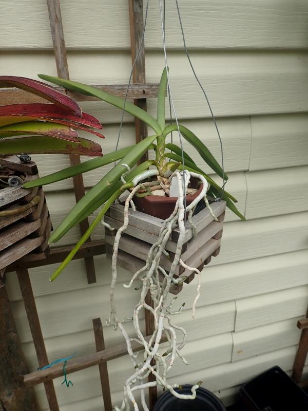 Les Orchidées chez Cloo en 2021 - Page 14 51376993459_158799a9a6_o