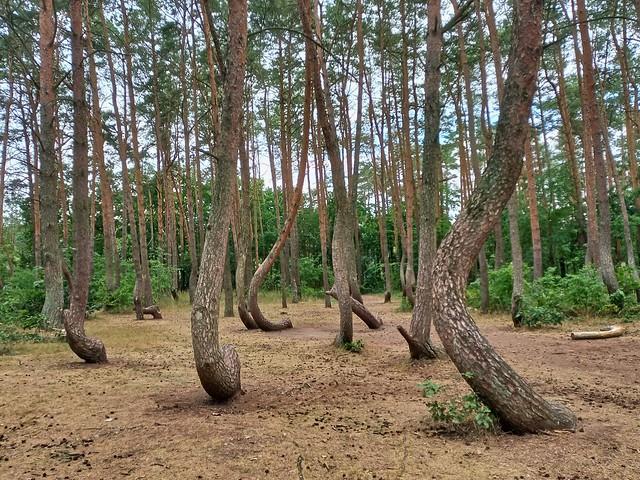 Crooked pine trees in Gryfino, Poland