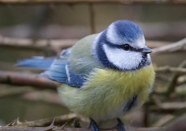 Parus caeruleus (mésange bleue  - pimpelmees  - blue tit)