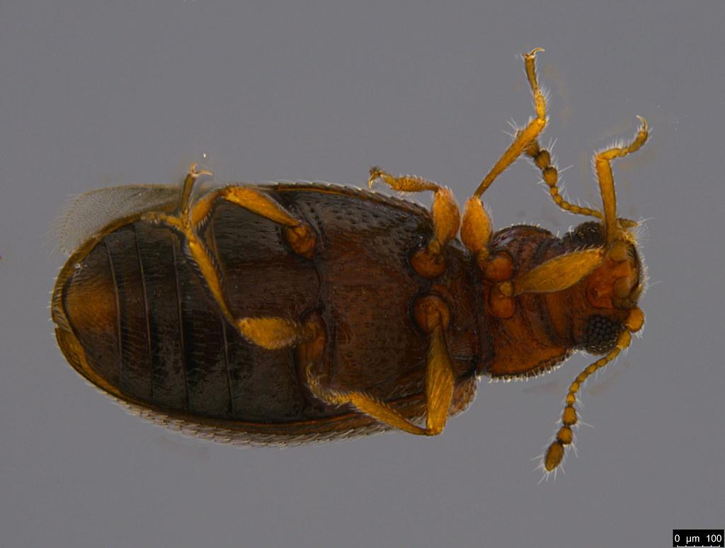 2b - Corticariinae sp.