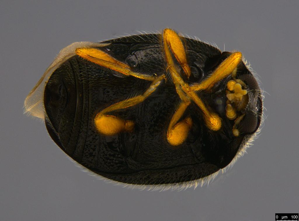 3c - Coccinellidae sp.