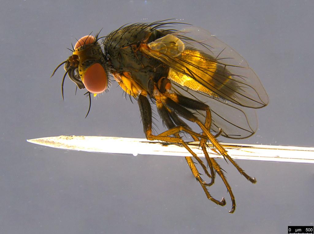 5a - Siphonini sp.