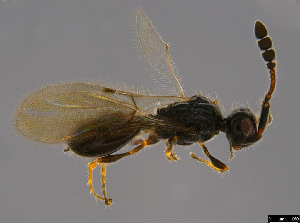 12 - Diapriidae sp.