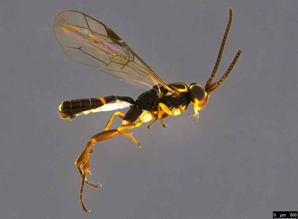14a - Orthocentrus sp.
