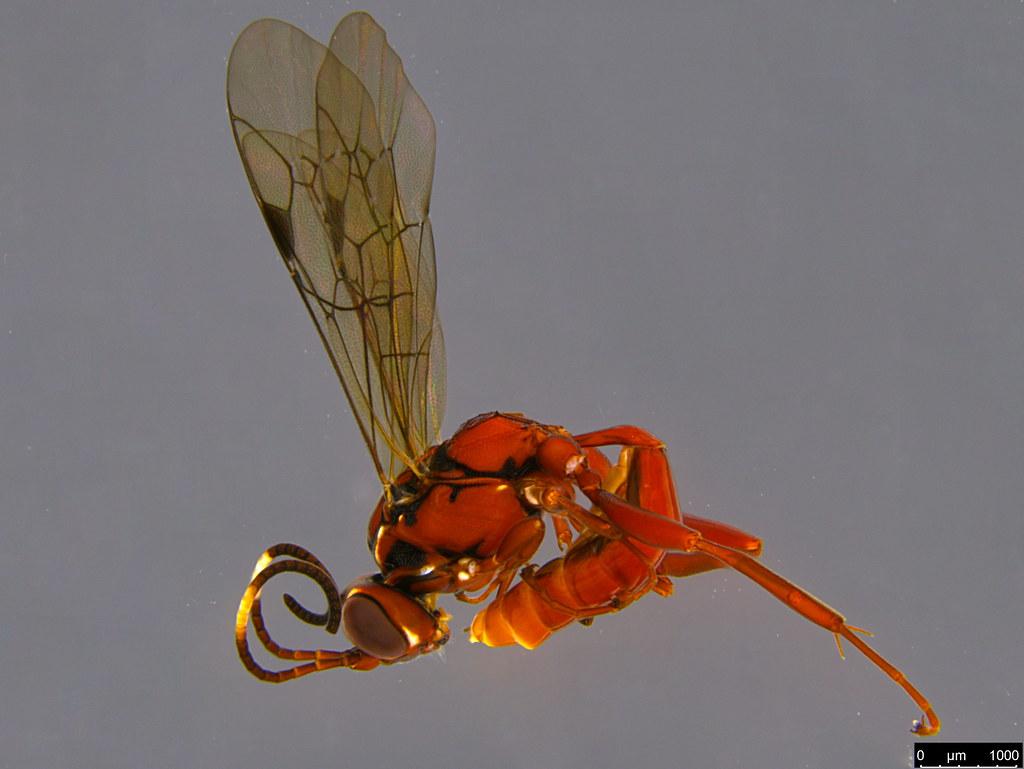 19a - Ichneumonidae sp.