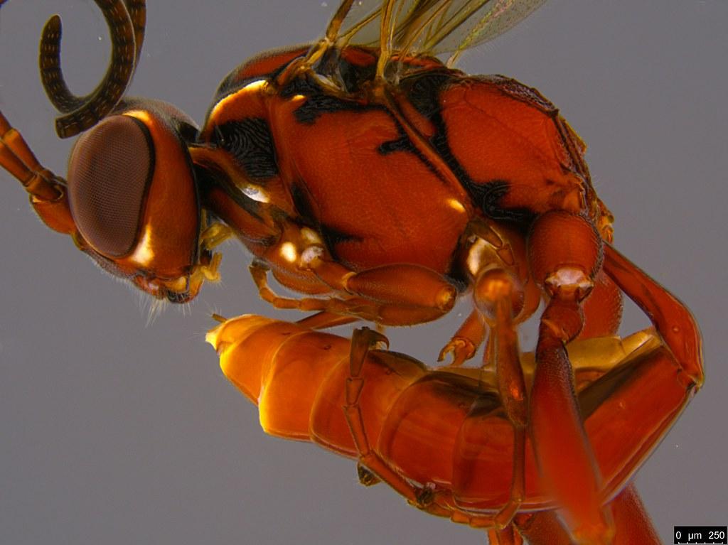 19b - Ichneumonidae sp.