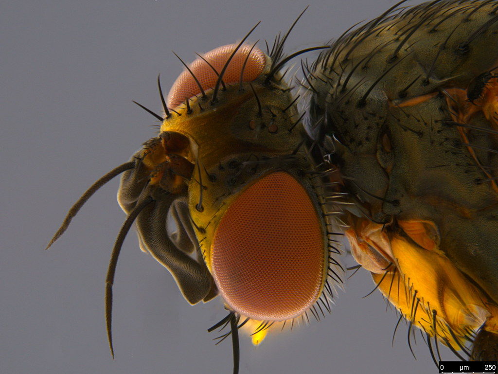 5c - Siphonini sp.