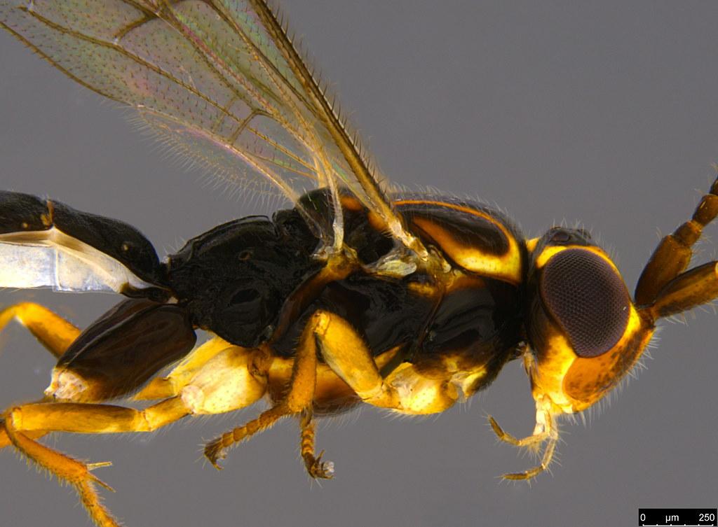 14b - Orthocentrus sp.