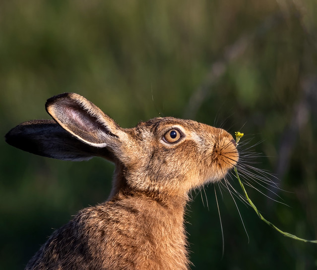 Something in the Hare