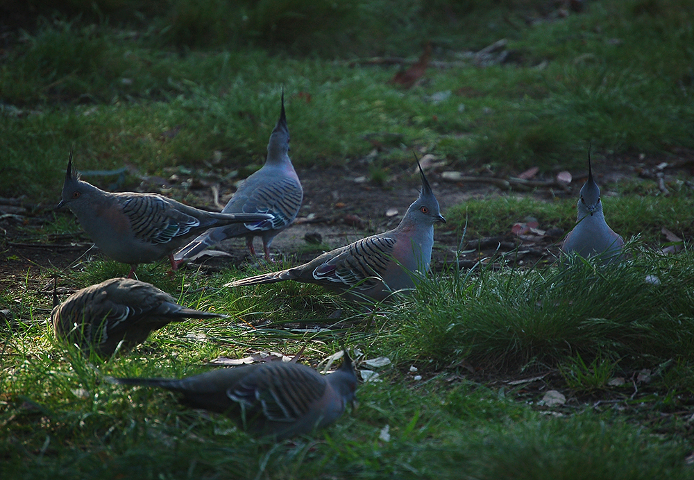_Crested_pigeons_