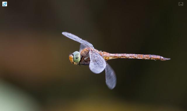 IMG_ Green eyed hawker  male