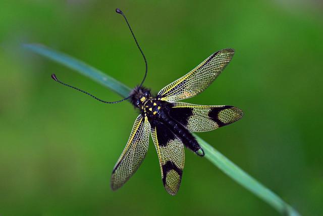 Black Yellow Owlfly (Libelloides Longicornis)