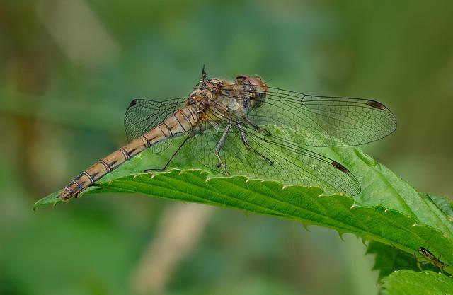 Gemeine Heidelibelle (Sympetrum vulgatum) – Weibchen
