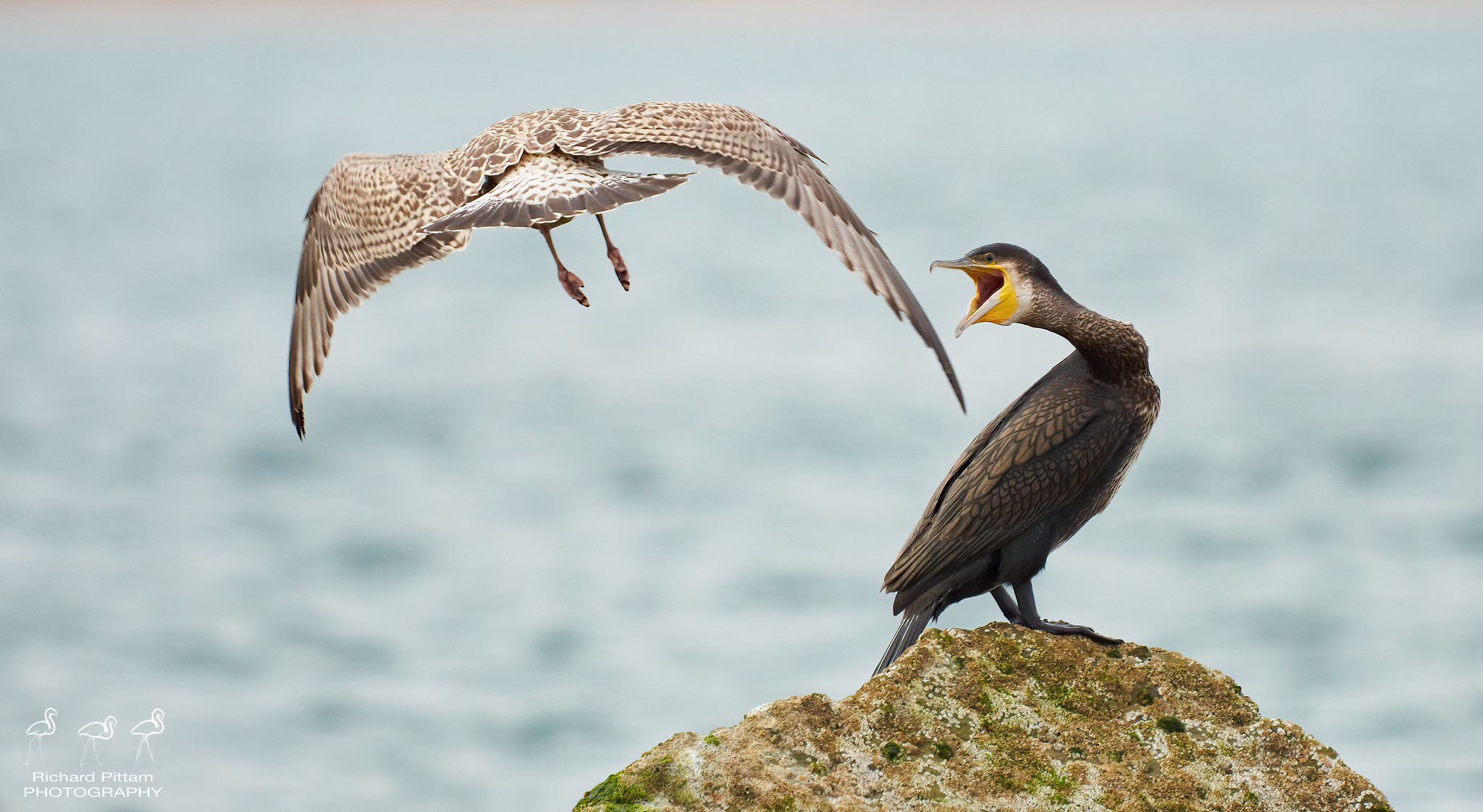 Headless gull tackles angry Cormorant