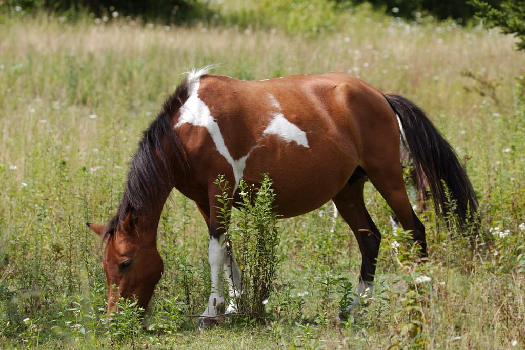 Highland pony2