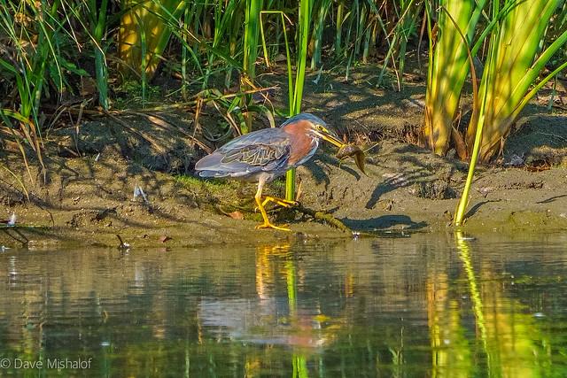 Green Heron catches fish