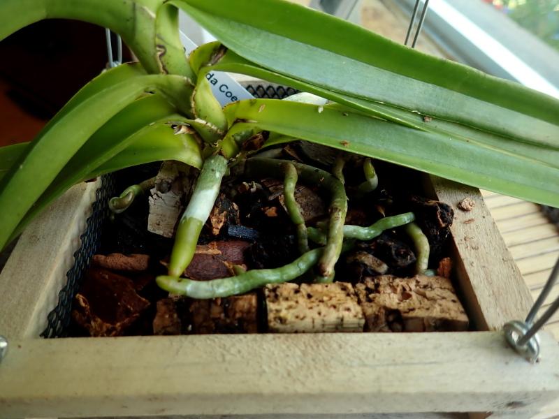 Les Orchidées chez Cloo en 2021 - Page 14 51378974429_78b9419ec6_o