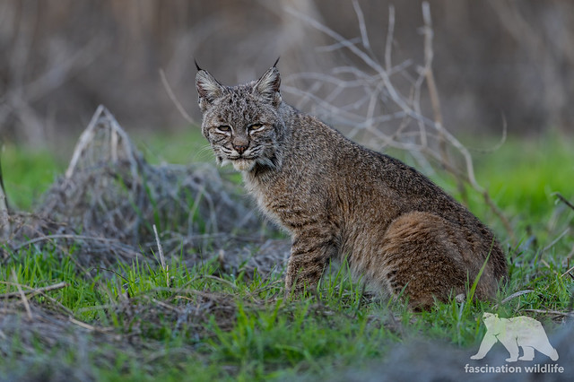 Bobcat #Explored