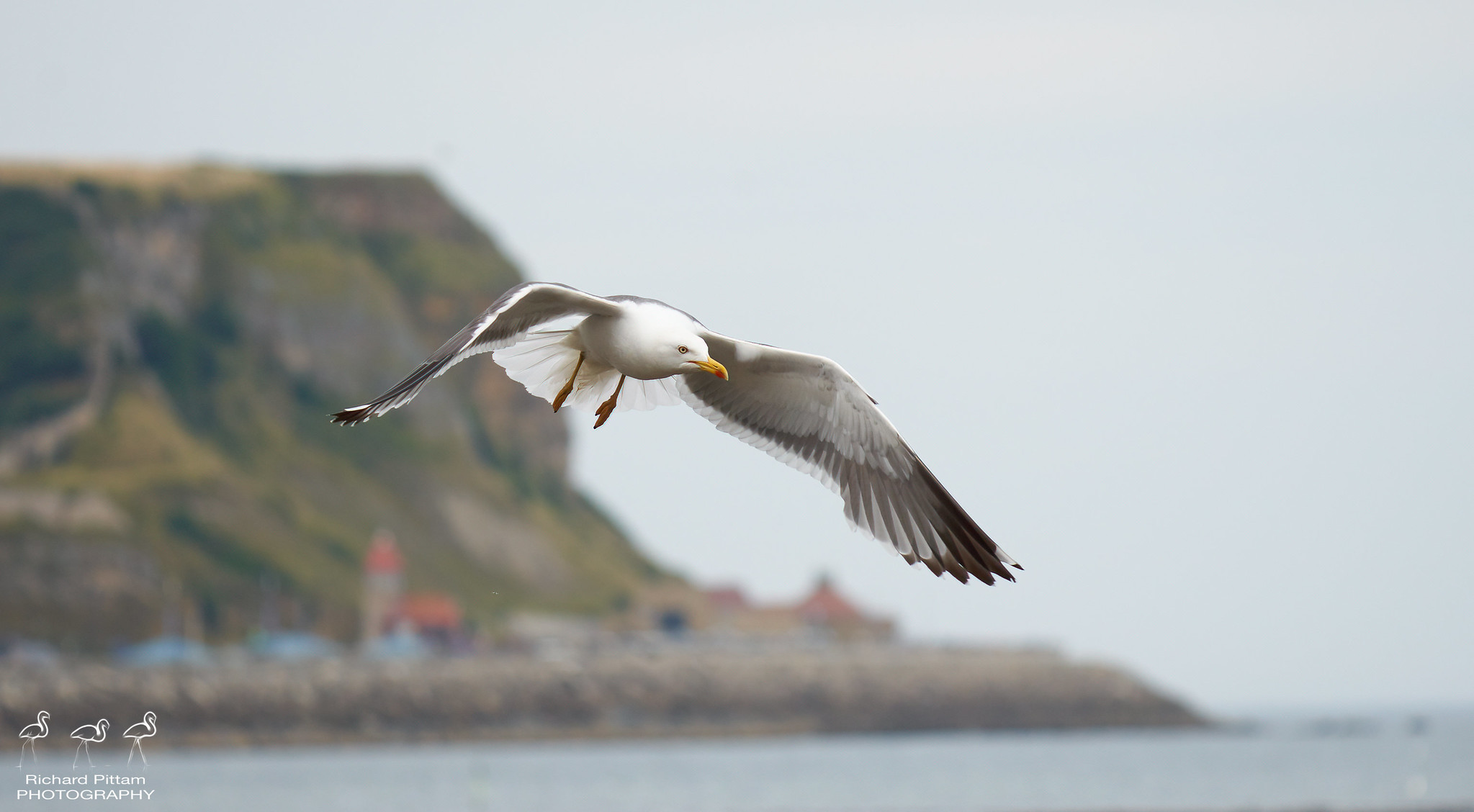 Lesser Black-backed Gull - Scarboropugh headland in background