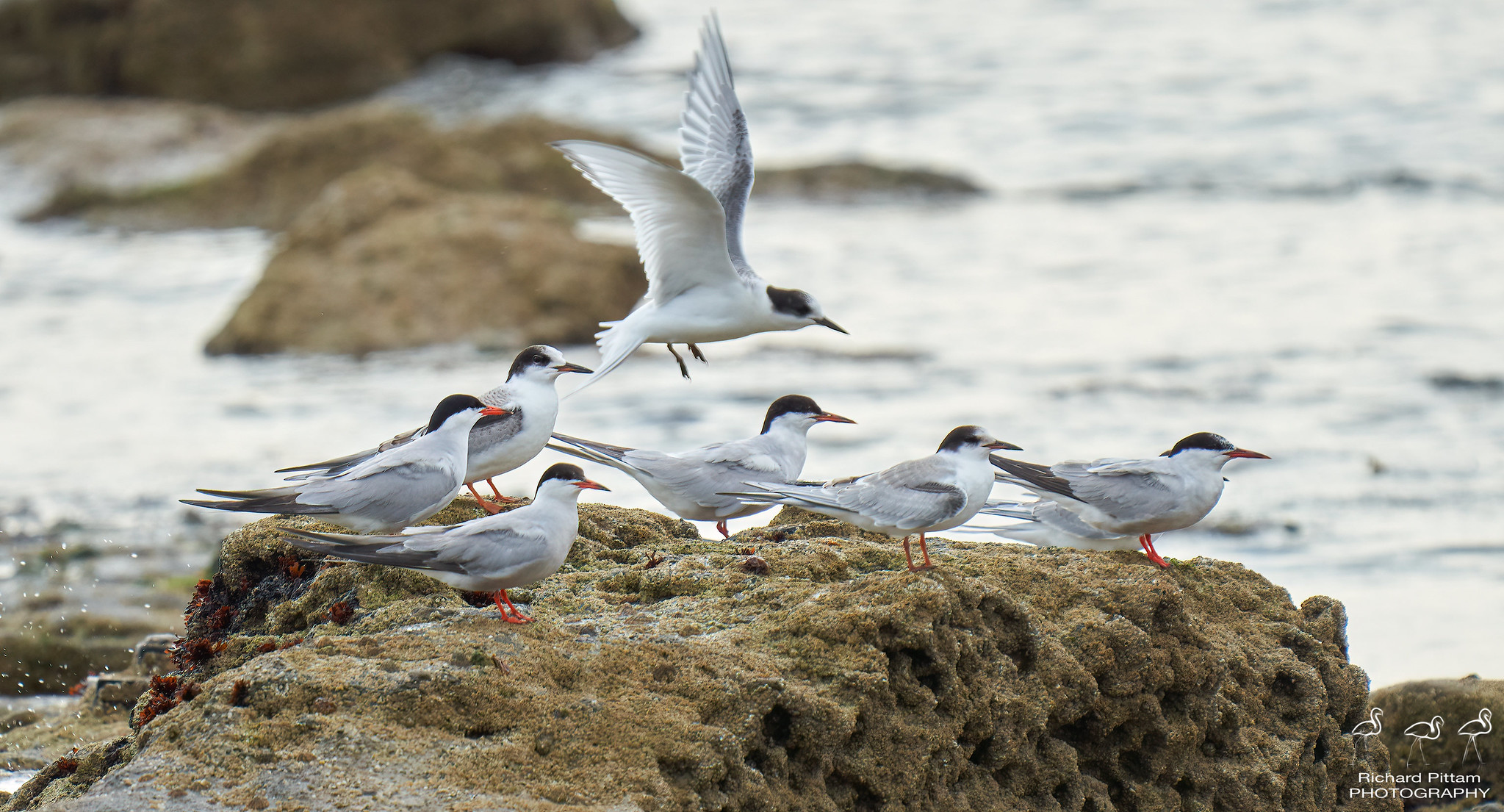 Common and Arctic Terns