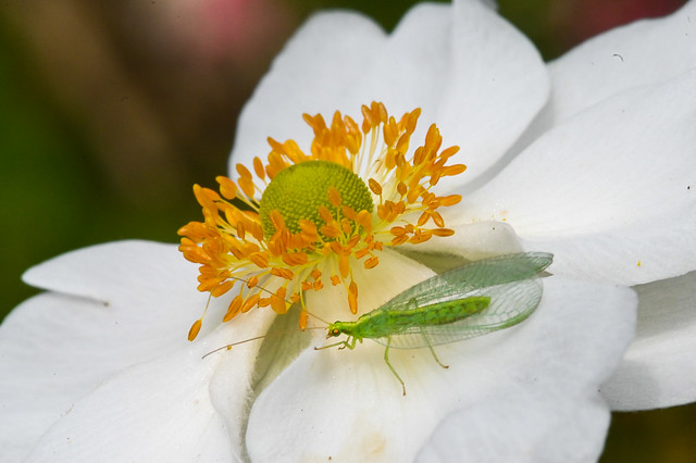 Common green lacewing on an anemone hybrida 'HONORINE JOBERT'  --  Chrysope verte sur une anémone du Japon 'Honorine Jobert'