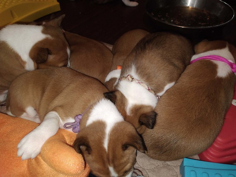 Aria and Lyra's Litter 4-5 Weeks Old