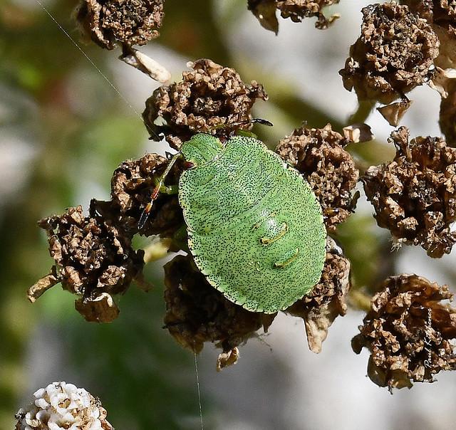Green Shieldbug (Palomena prasina) 3/4th instar nymph on Yarrow