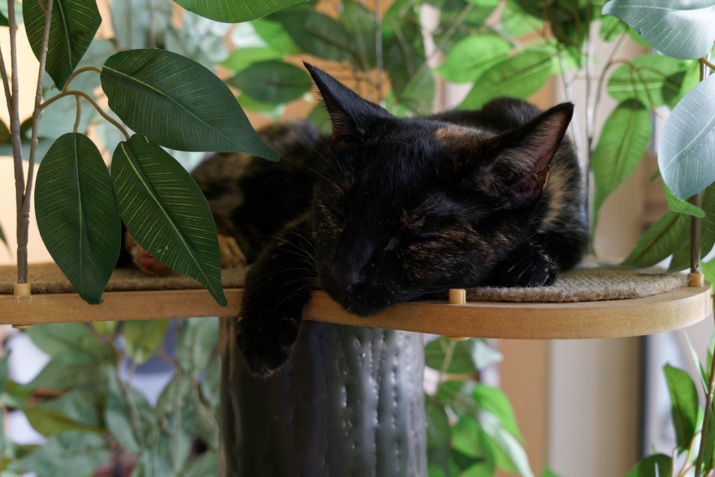 Our tortoiseshell cat Trixie sleeps on ttop of the new cat tree on August 4, 2021. Original: _CAM3018.arw