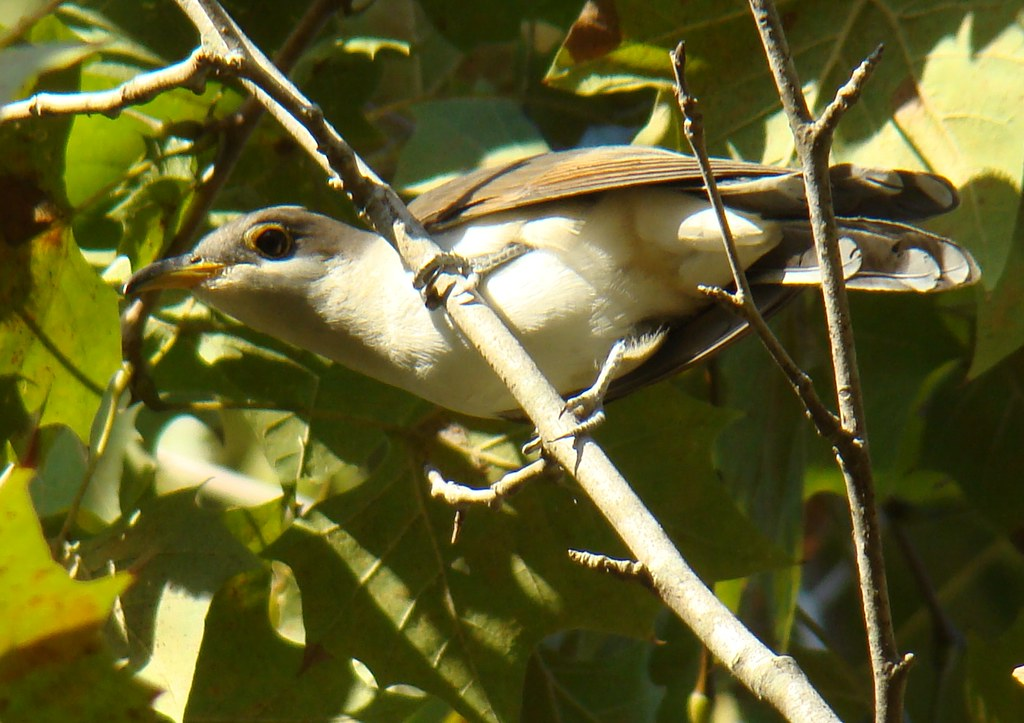 Aislynn... Oct 2010 Fla... and birds 087 Yellow-billed Cuckoo
