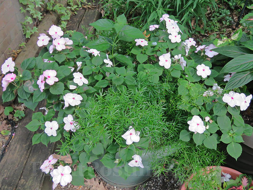 impatiens and asparagus fern