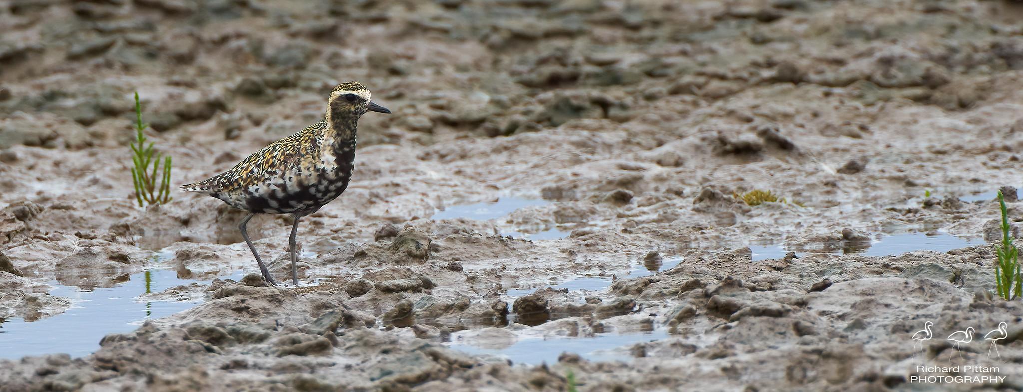 Pacific Golden Plover