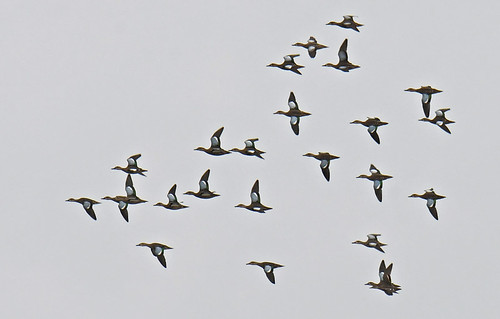 Blue-winged Teal - Braddock Bay East Spit - © Dick Horsey - Aug 13, 2021