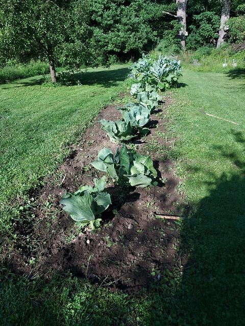 Dutch cabbage