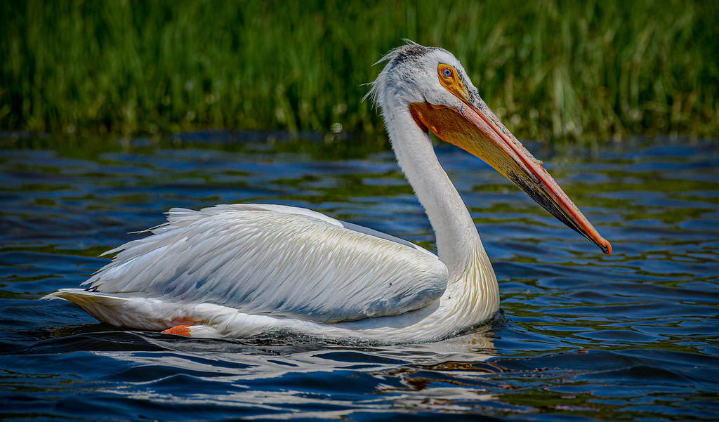 White Pelican at Steamboat Lake