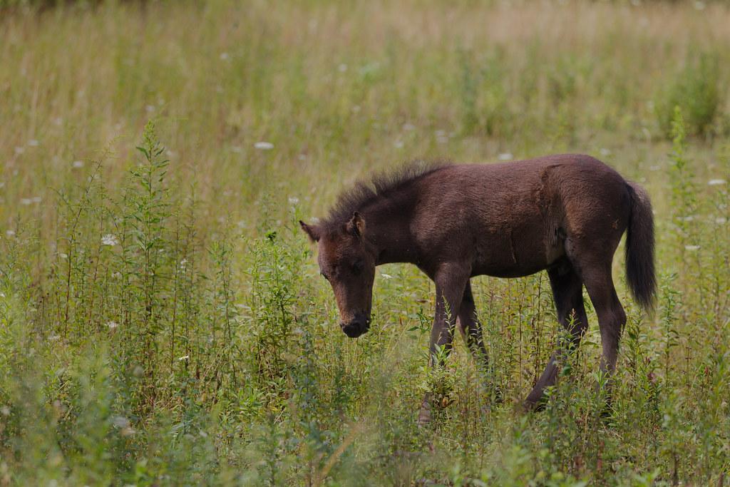 Highland pony1