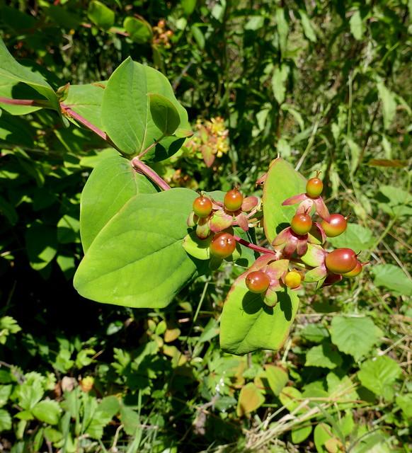 Sauvage au jardin, millepertuis androsème (Hypericum androsæmum)), Bosdarros, Béarn, Pyrénées Atlantiques, Nouvelle-Aquitaine, France.