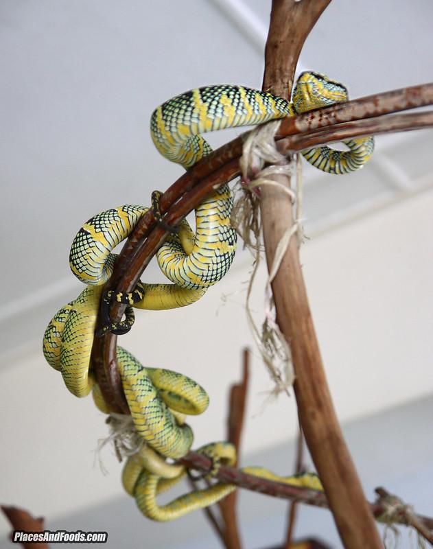 penang snake temple viper
