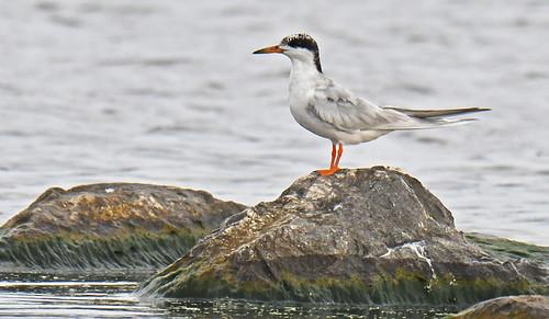 Forster's Tern - Braddock Bay East Spit - © Dick Horsey - Aug 13, 2021