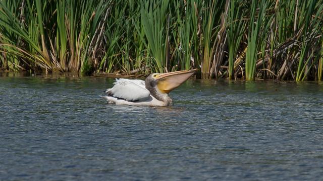 Pélican d'Amérique, American Whithe Pelican, Marais-Léon-Provancher, PQ,Canada - 06819